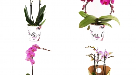 Phalaenopsis giftbox set nr 1